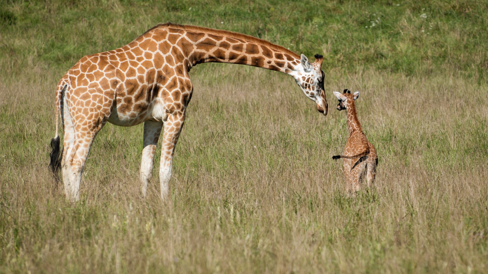 A giraffe with its youngling.