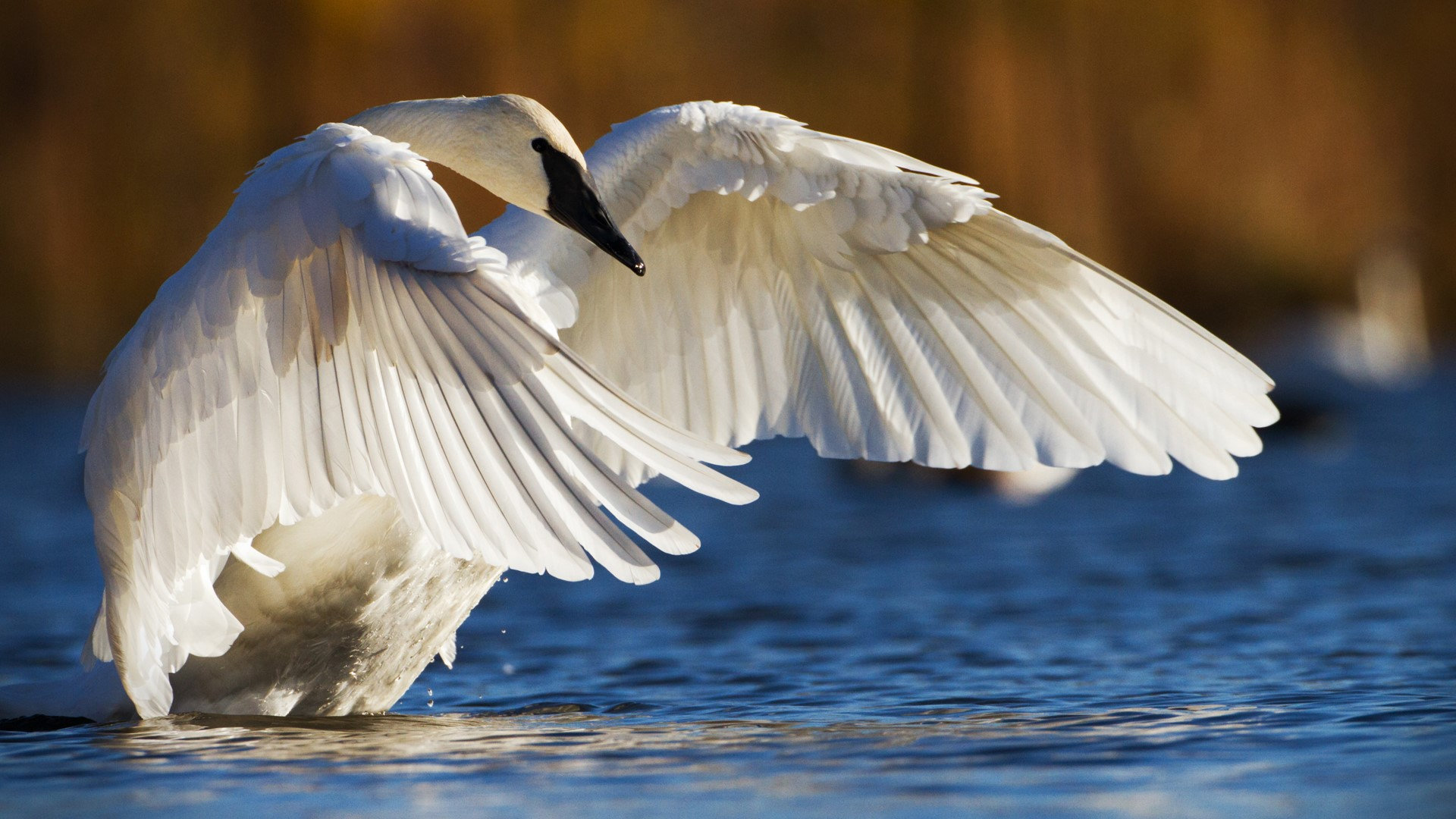 A swan spreading out its wings while standing above water.