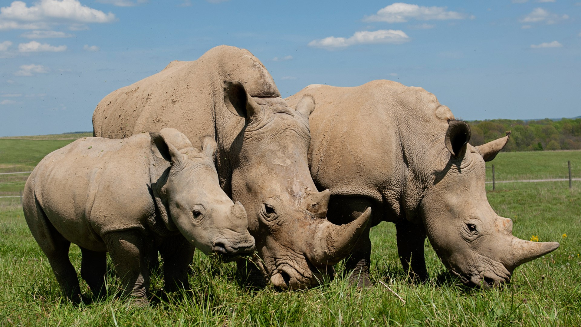 A family of White Rhinos, standing in a prairie.