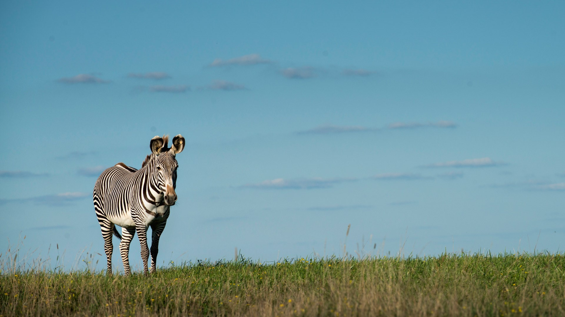 A sole zebra standing in the horizon of a field.